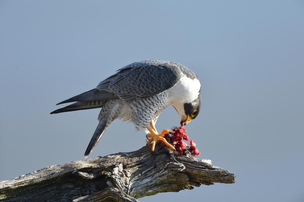 falcon, sokol jede, grabljivice, ptica