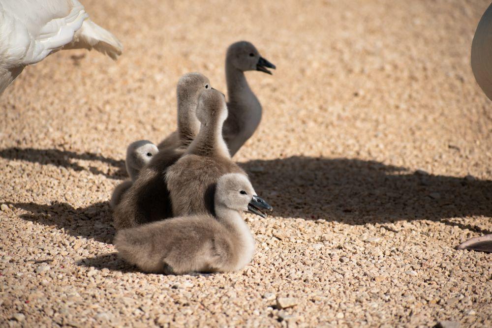 Mali labudovi - Vransko jezero