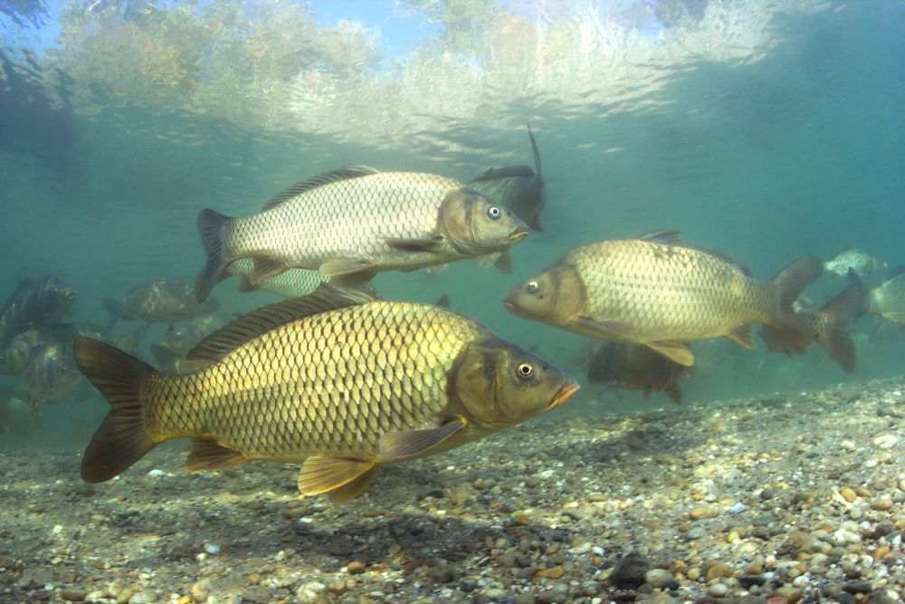 Slatkovodne ribe