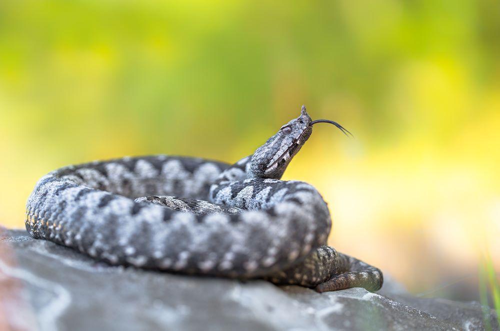 Poskok - zmije u Hrvatskoj